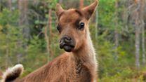 Aïlo : une odyssée en Laponie Bande-annonce VF