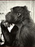 Koko, le gorille qui parle streaming